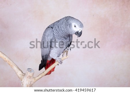 African Gray parrot tropical bird - stock photo
