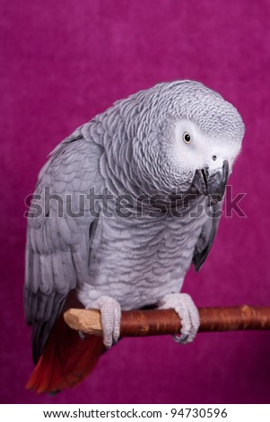 African Gray parrot tropical bird on a pink background - stock photo