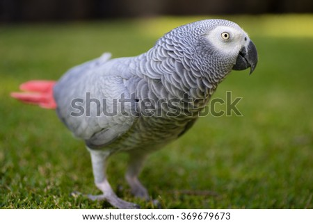 African Grey (Gray) Parrot walking around on grass - stock photo