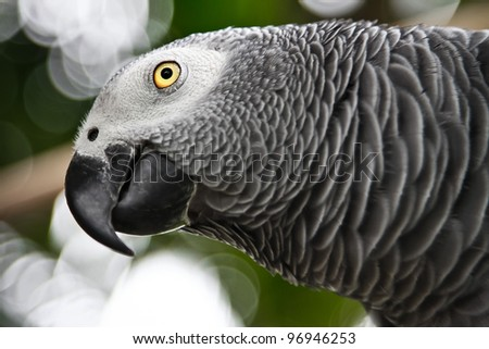 African Grey Parrot eating a peanut - Psittacus erithacus in front - stock photo
