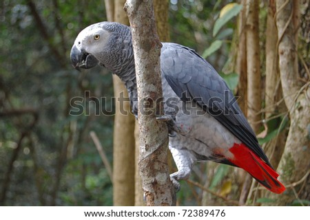african grey parrot in forest in africa - stock photo