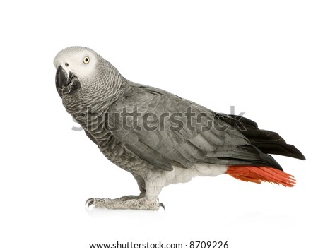African Grey Parrot - Psittacus erithacus in front of a white background - stock photo
