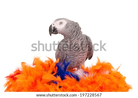 African grey parrot (Psittacus Erithacus) sitting on an artificial nest of colored feathers, isolated on white - stock photo