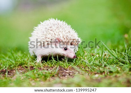 african hedgehog outdoors - stock photo