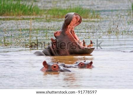 African Hippopotamus displaying huge tusks - stock photo