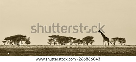 African landscape with giraffe in black and white - stock photo