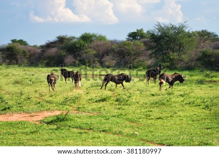 African landscape with the black wildebeest or white-tailed gnu (Connochaetes gnou) in Namibia, Africa. Warm evening light - stock photo