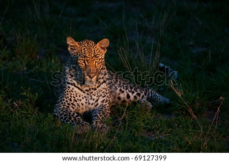 african leopard at dusk lying on green grass lighted with a spotlight in Sabi Sand nature reserve in South Africa - stock photo