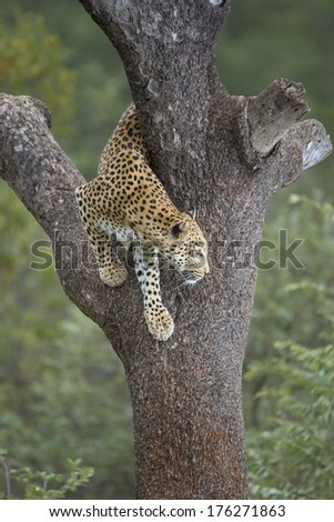 African Leopard climbing down tree in South Africa - stock photo