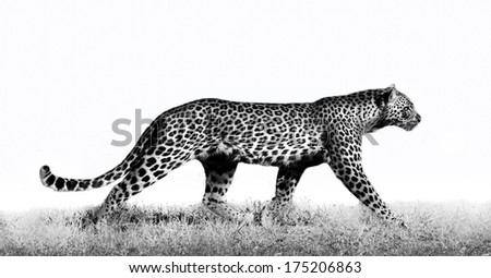 African leopard in high key - stock photo
