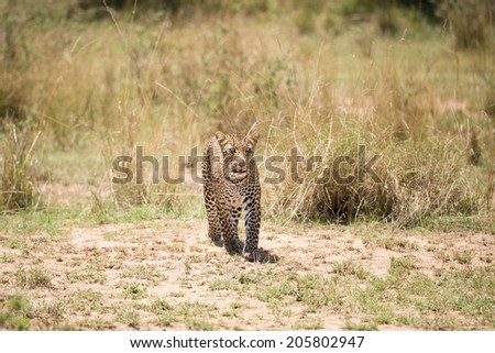 African leopard in the wild - stock photo