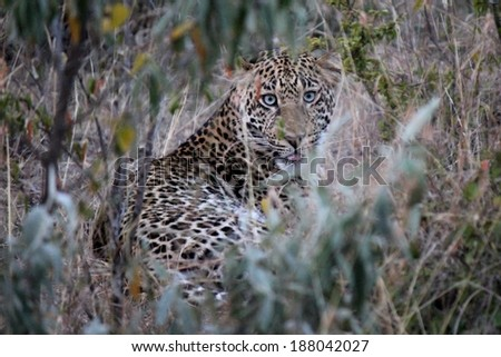 African Leopard - Scientific name: Panthera pardus pardus. Licking face whilst well camouflaged between the tall grass and leaves. Maasai Mara National Reserve, Kenya, East Africa. - stock photo