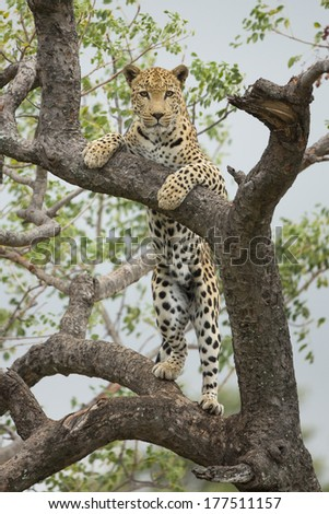 African Leopard standing in tree in South Africa - stock photo