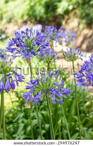 African lily. Flor del amor. Coôas de Henrique. Agapanthus africanus. - stock photo