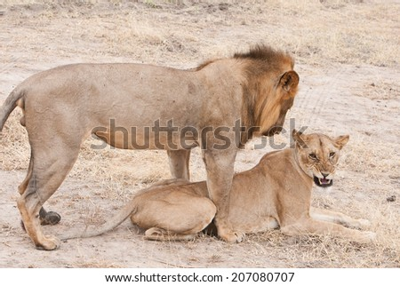 african lion couple going to mate - national park selous game reserve in tanzania - stock photo