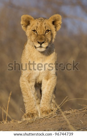 African Lion cub (Panthera leo), South Africa - stock photo