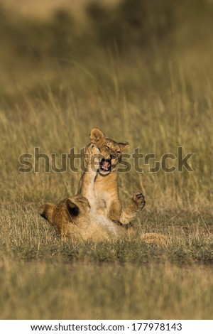 African Lion cubs playing in the Masai Mara in Kenya - stock photo