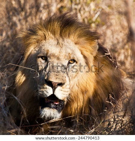 African lion in Hlane National Park, Swaziland - stock photo