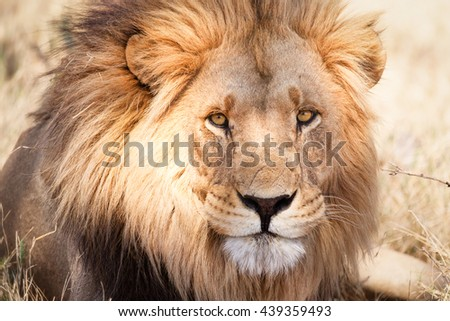 African lion in Savannah in Zambia - stock photo