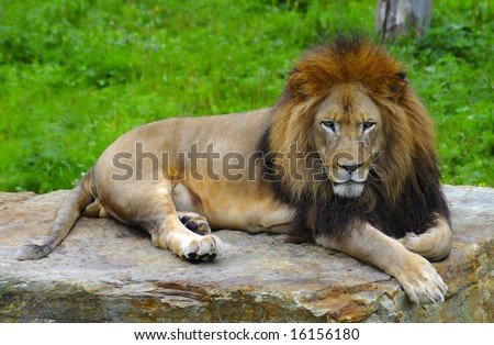 African lion lying on a flat stone - stock photo