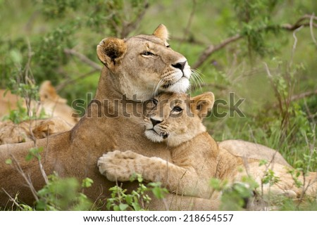 African Lion (Panthera leo). A tender image of a lioness and its young cub together in a loving embrace. Masai Mara, Kenya - stock photo