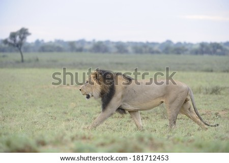 African Lion (Panthera leo). Black-maned pride male in the Kalahari desert, Northern Cape, South Africa.  Patrolling terrirory - stock photo