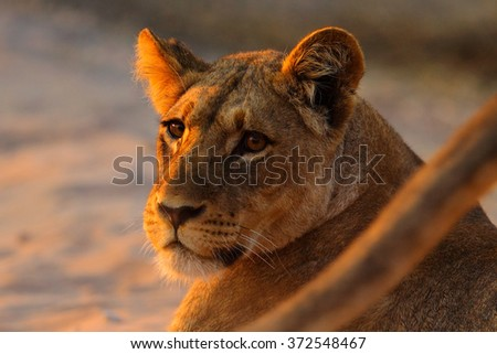 African lion, Panthera leo, detail portrait of big animal, evening sun, Chobe National Park,  Botswana, South Africa - stock photo