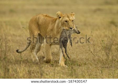 African Lion, Panthera leo, lioness with warthog kill, Upper Mara, Masai Mara Game Reserve, Kenya, Africa - stock photo