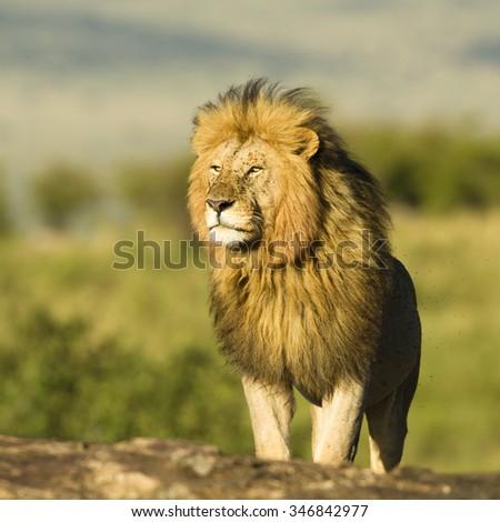 African Lion,  Panthera leo,  male, Masai Mara Game Reserve, Kenya, East Africa - stock photo