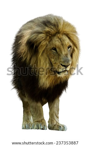 African lion standing in front. Isolated over white background  - stock photo