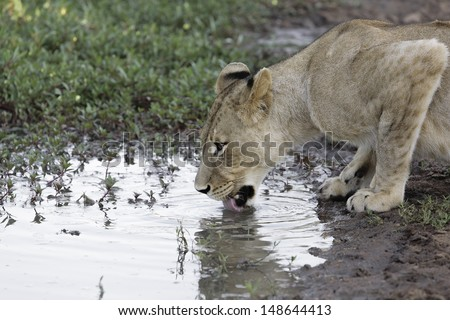 African lioness crouched down drinking water at a muddy waterhole  - stock photo