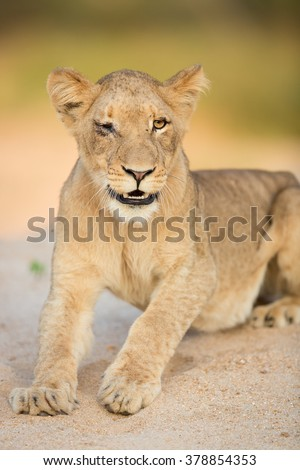African Lioness looking sick in the Kruger Park South Africa - stock photo