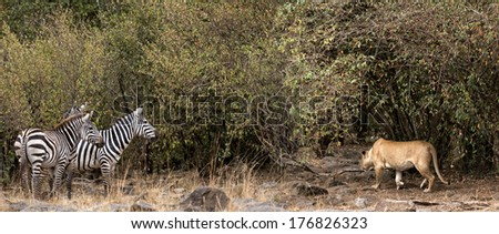 African lioness stalking  zebra herd , Masai Mara National Reserve, Kenya - stock photo