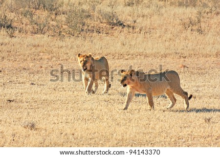 African lions hunting in the Kgalagadi desert - stock photo