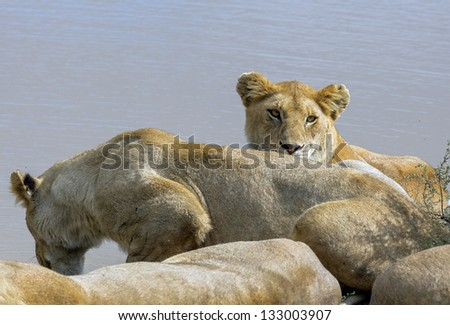 African lions near watering hole in the Serengeti National Park - Tanzania, East Africa - stock photo