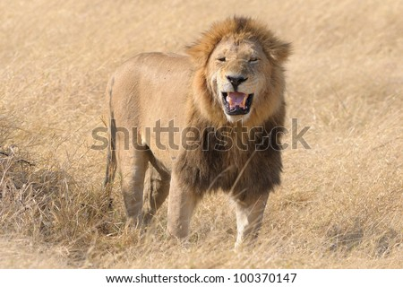 African male lion growling in Botswana, Africa - stock photo
