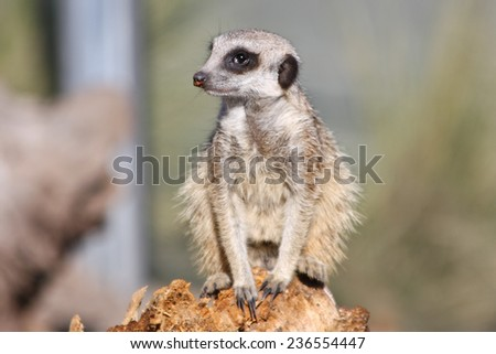 African Meerkat standing on a wood stump  - stock photo
