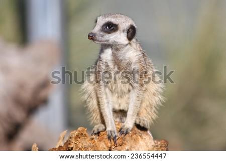 African Meerkat standing on a wood stump  - stock photo
