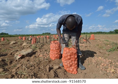 African men in a field of potatoes - stock photo