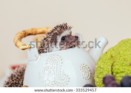 African miniature hedgehog baby in a kettle.  - stock photo