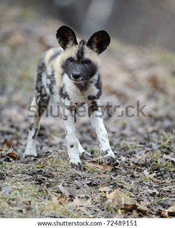 African painted wild dog (Lycaon pictus) pup - stock photo