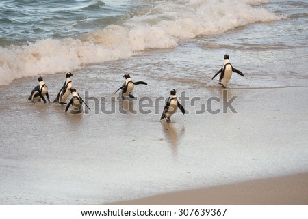 African penguins coming ashore on Boulder's Beach near Cape Town, South Africa - stock photo