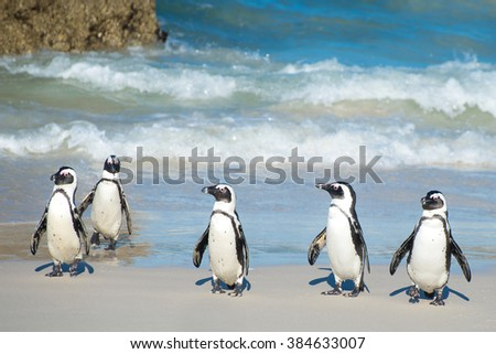 African penguins just getting out of the water at Boulder Beach outside Cape Town, South Africa - stock photo