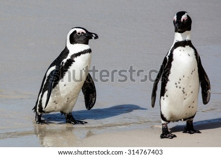 African Penguins on the sandy beach in South Africa - stock photo