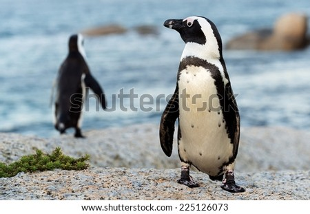 African penguins. South Africa - stock photo