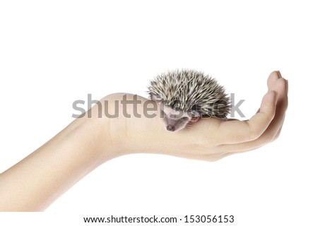 african pygmy hedgehog on hand - stock photo