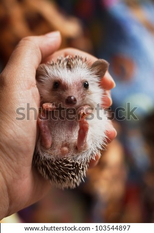 african pygmy hedgehog on hand holding - stock photo