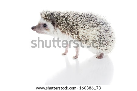 African Pygmy Hedgehogs (Atelerix albiventris)  - stock photo