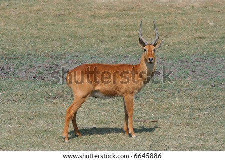 African Reedbuck Antelope - stock photo