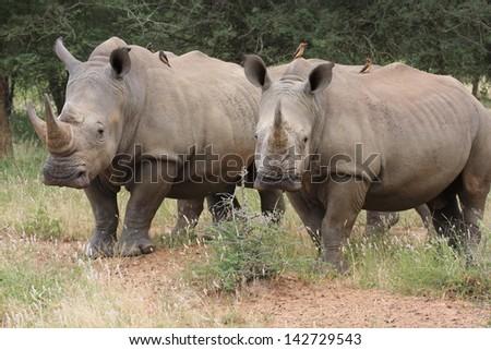 african rhinoceros wild animals african mammal savannah plains and deserts africa kalahari desert kgalagadi national park south africa botswana nature parks and nature reserves - stock photo